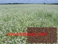 Семена Редьки масличной (сидерат) 1кг -  удобрение почвы без химии