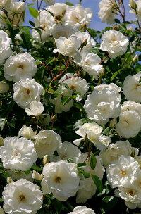 Купить саженецы роз сорта  Плетистая белая 1шт
