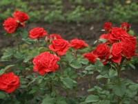 Саженцы роз Эль Торо 1шт