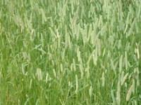 купить семена Тимофеевки луговой, для сенокоса 1кг