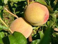 Саженцы на полукарликовом подвое персика Киевский Ранний 1шт