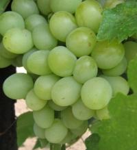 Купить саженц на полукарликовом подвое, виноград (Кеша) 1шт