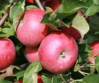 Саженцы яблони Альва 1шт