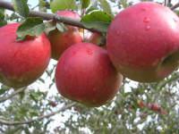Саженцы плодово-ягодных культур и цветов