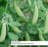 Горох овощной сорт Адагумский 1 кг (Отлично улучшает структуру почвы)