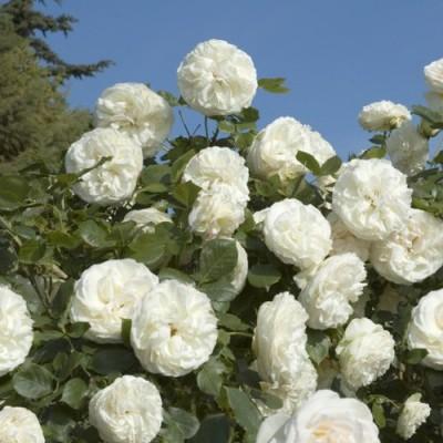 Купить саженецы роз сорта  Вьющаяся Белая 1шт