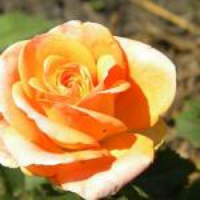 Саженцы роз Примадонна 1шт