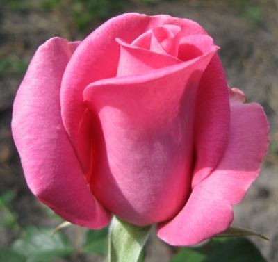Саженцы роз Равель 1шт