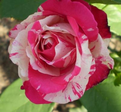 Саженцы роз Сатина 1шт