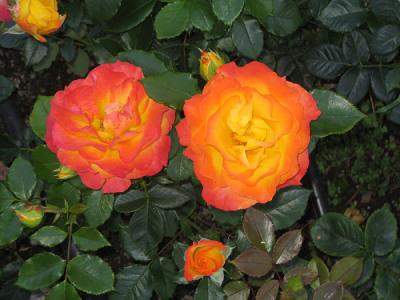 Саженцы роз Солнышко 1шт
