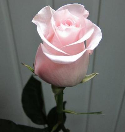 Саженцы роз Титаник 1шт
