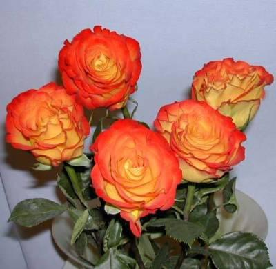 Саженцы роз Циркус 1шт