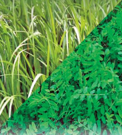 Семена викоовсяной смеси 1кг (сидерат для уничтожения вредителей в почве)