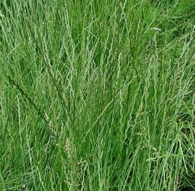 Райграс пастбищный 1кг отличная сенокосная трава