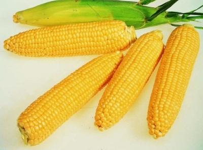 купить семена Кукурузы Кадр 1кг на зерно