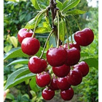 Саженцы на полукарликовом подвое вишни Шпанка Крупноплодная 1шт