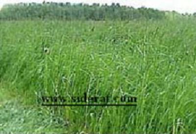 Купить семена Овсяницы тростниковой 1кг (для влажных мест, болот)