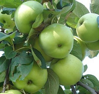 Саженцы яблони Антоновка 1шт