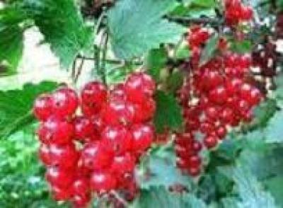 Саженец смородины красной сорта Джонкер Ван Тетс 1шт