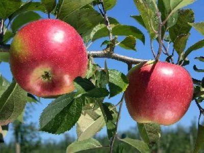Саженцы яблони Фридом 1шт