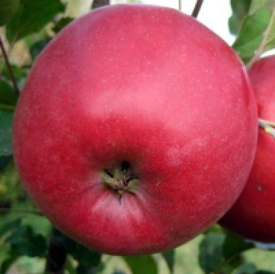 Саженцы яблони Эрли Женева 1шт