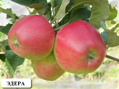 Саженцы яблони Эдера 1шт