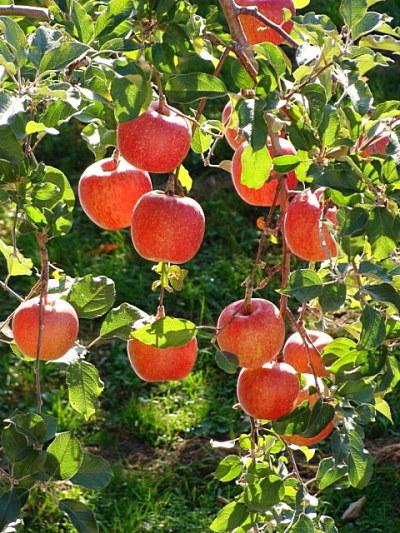 Саженцы яблони Чемпион 1шт