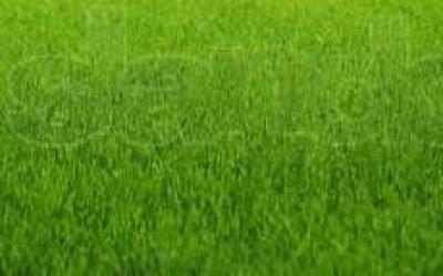 Купить Айру (Овсяницу красную) для подсева газонных трав 1кг