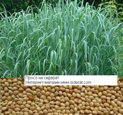 Семена проса 1 кг (Широко используют на зерно или на сидерат)