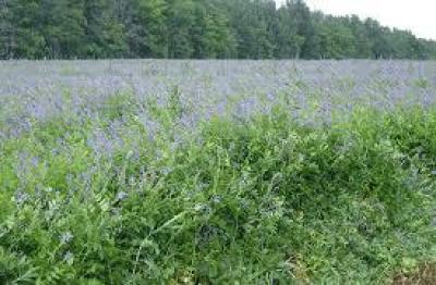 Семена козлятника 1 кг (питательная трава для сенокоса)