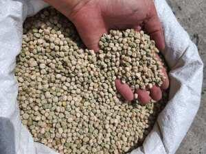 Семена гороха (сорт Бинго) 100кг