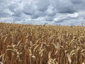 Семена пшеници озимой
