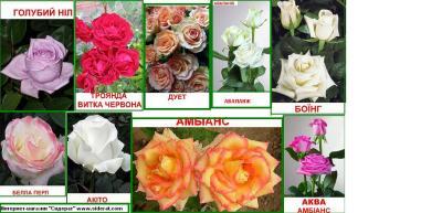 Красивый асортимент Саженцов Роз. Дерево из роз.