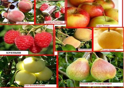 Саженцы плодовых деревьев и  ягодных кустарников