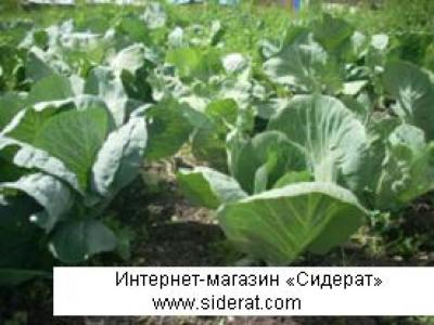 Как вырастить капусту для себя, не используя химии от болезней и вредителей.