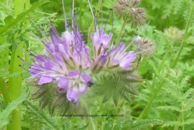 Фацелия – лучшее растения медонос.