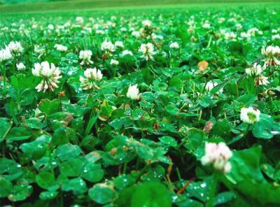Ценность клевера белого кроме газонной травы